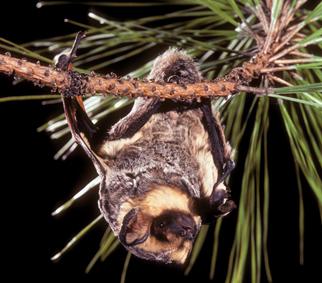 Hoary Bat roosting